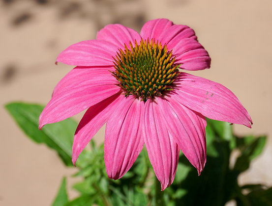 "Echinacea 4""pot Pow Wow Wild Berry"