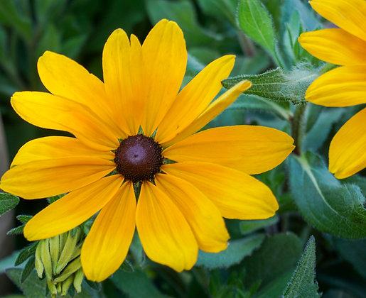 """Gloriosa Daisy 12""""pot Indian Summer"""