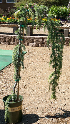Weeping Blue Atlas Cedar 5gal (staked)