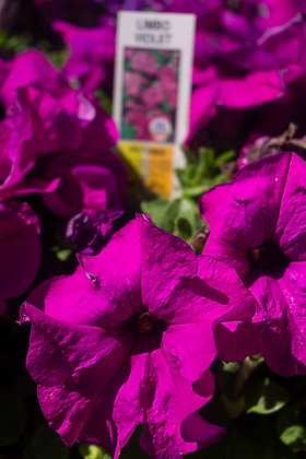 """Petunia 4""""pot Limbo Violet"""