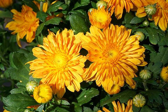 Chrysanthemum 1gal Pumpkin Pie Orange