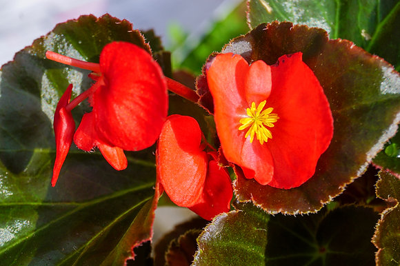 "Begonia 4""pot Big Red w/Bronze Leaf"