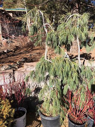 Pine Weeping White 10 Gallon