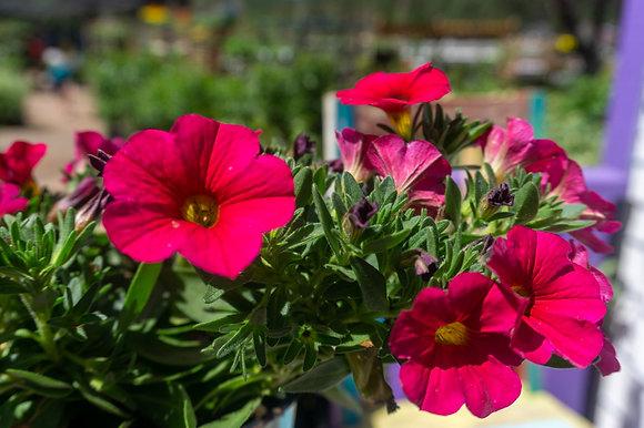 """Petunia 4""""pot SuperCal Cherry"""