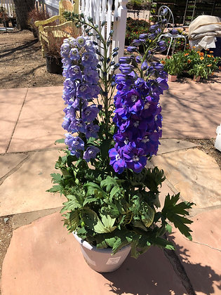 "Delphinium 12""pot Guardian Mix"