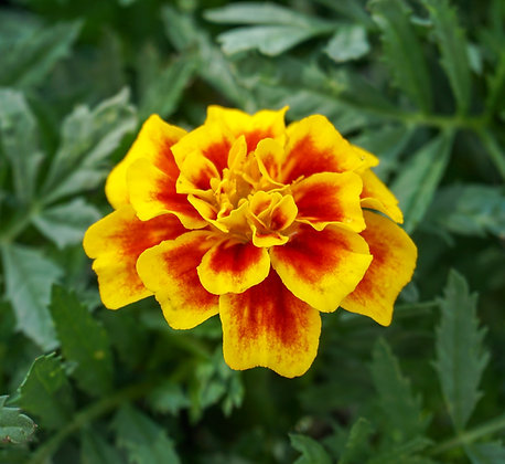 Marigold 6-pak Safari Yellow Fire