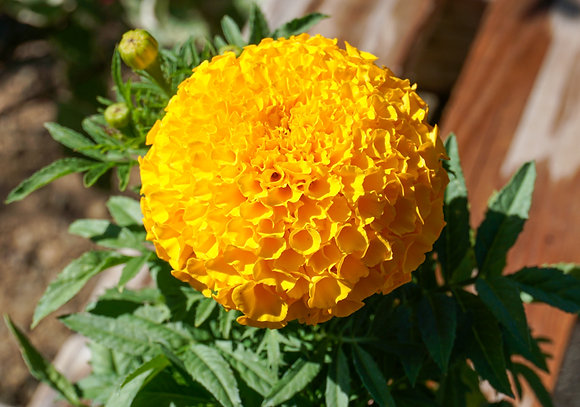 "Marigold African Dwarf 4""pot Yellow"