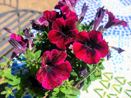 "Petunia 4""pot Sweetunia Johnny Flame"