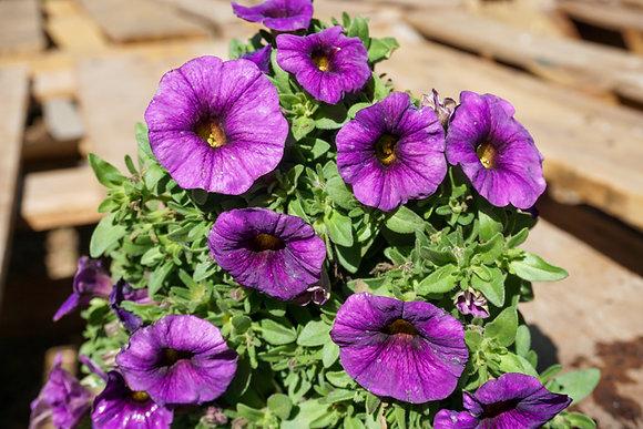 """Petunia 4""""pot SuperCal Blue"""