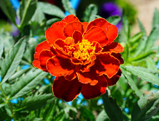 "Marigold 4""pot Durango Red"
