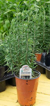 """Rosemary Upright 4""""pot"""