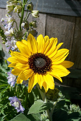 "Sunflower 12""pot Sunfinity Yellow"