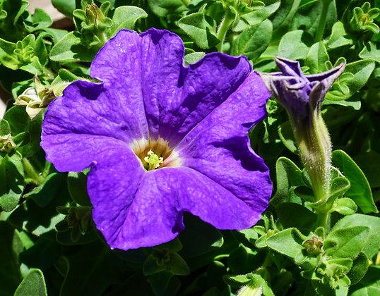 Petunia 6-pak Dreams Sky Blue