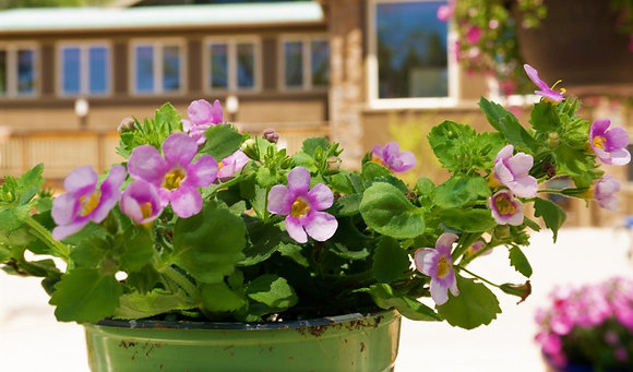 """Bacopa 4""""pot Scopia Great Pink Ring"""