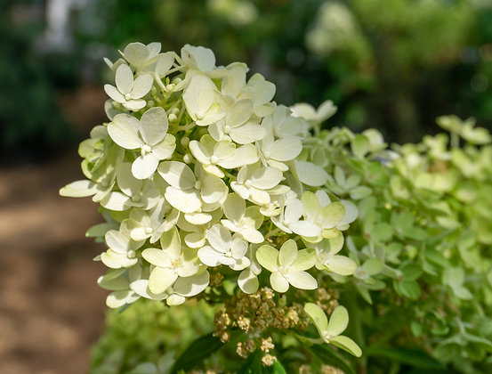 Hydrangea 2gal Candy Apple