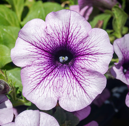 "Petunia Surfinia 4""pot Blue Veined"