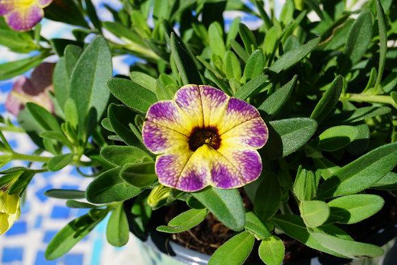 "Calibrachoa 4""pot Chameleon Blueberry Scone"