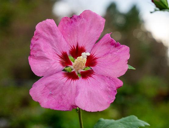 Hibiscus 5gal Aphrodite