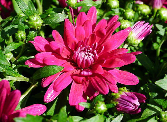 Chrysanthemum 1gal Grapeberry Purple