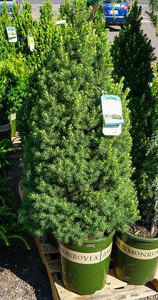 Dwarf Alberta Spruce 5gal