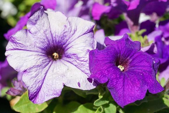 "Petunia 4""pot Limbo Mid Blue"