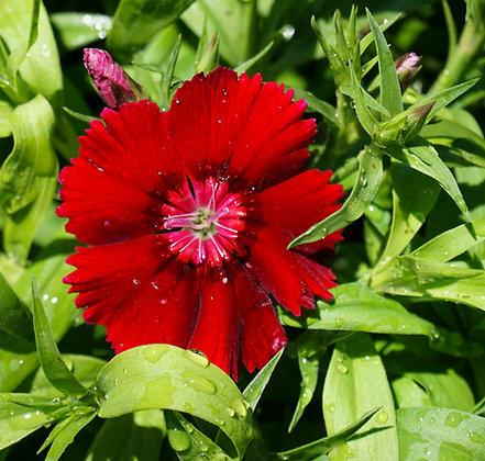 Dianthus 6-pak Floral Lace Crimson