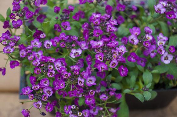"Alyssum 4""pot Purple Shades"