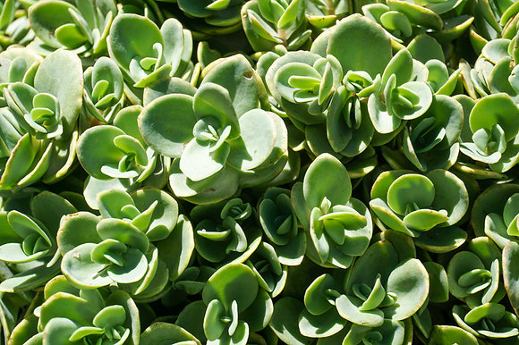 "Sedum 4""pot SunSparkler Lime Zinger"
