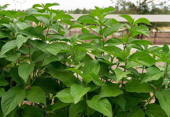 Red Twig Dogwood 5gal