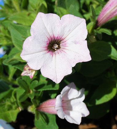 """Petunia 4""""pot Supertunia Vista Silverberry"""