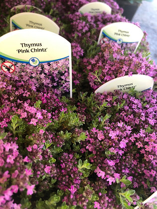 "Creeping Thymus 4""pot Pink Chintz"