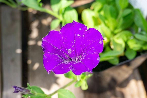 "Petunia Easy Wave 4""pot Blue"