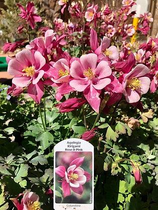 Aquilegia Kirigami 1gal Rose & Pink