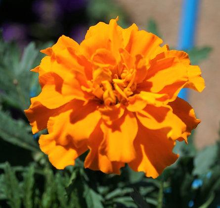 """Marigold 4""""pot Durango Orange"""
