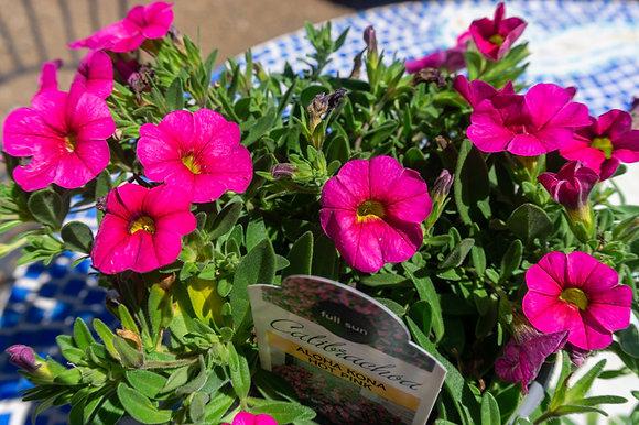 "Calibrachoa 4""pot Aloha Kona Hot Pink"