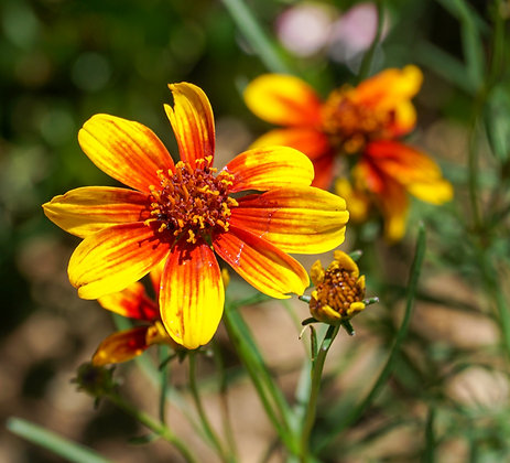 Coreopsis 1gal Sunstar Orange