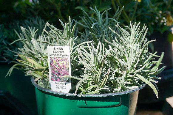 "Lavender 4""pot Munstead"
