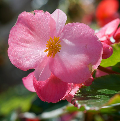 "Begonia 4""pot Big Pink w/Green Leaf"