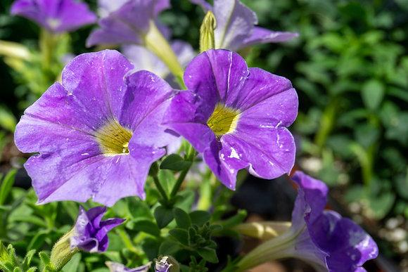 "Petunia 4""pot Supertunia Blue Skies"