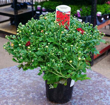 Chrysanthemum 1gal Radiant Red