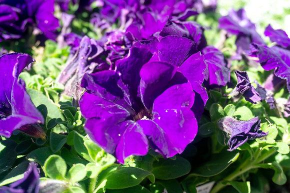 Petunia 6-pak Limbo Blue