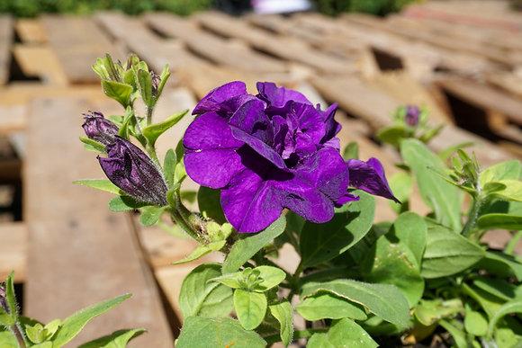 """Petunia Double Wave 4""""pot Blue Velvet"""