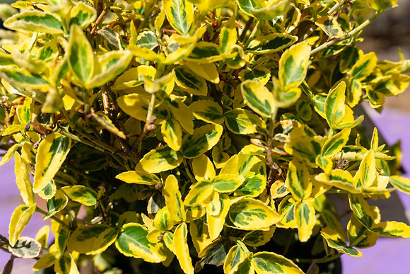 Euonymus 1gal Emerald 'n Gold