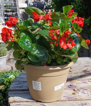 """Begonia 12""""pot Big Red w/Green Leaf"""