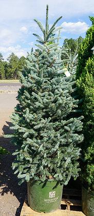 Fat Albert Colorado Blue Spruce 15gal