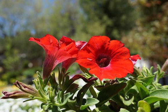"Petunia 4""pot Ray Red"