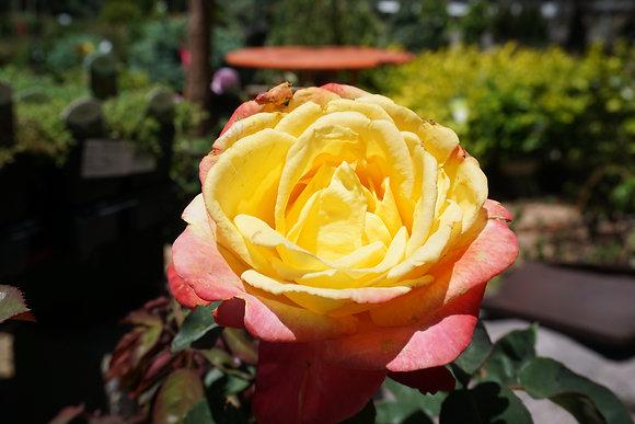 Rose 5gal Summer Nights