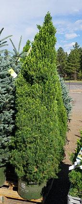 Dwarf Alberta Spruce 10gal