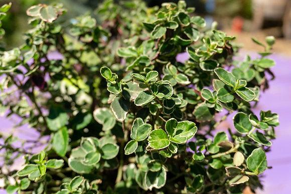 Euonymus 1gal Emerald Gaiety