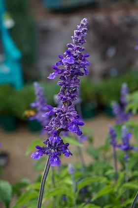 Salvia 1gal Mystic Spires Blue